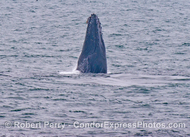A humpback whale (<em>Megaptera novaeangliae</em>) straight up and down - vertical lunge feeding.
