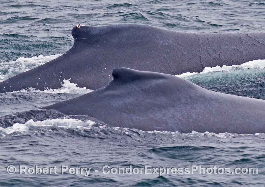 The dorsal fins of two humpback whales (<em>Megaptera novaeangliae</em>) side by side.