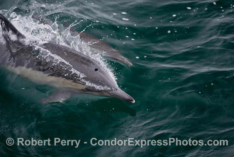 Common dolphins (<em>Delphinus capensis</em>) love to surf.