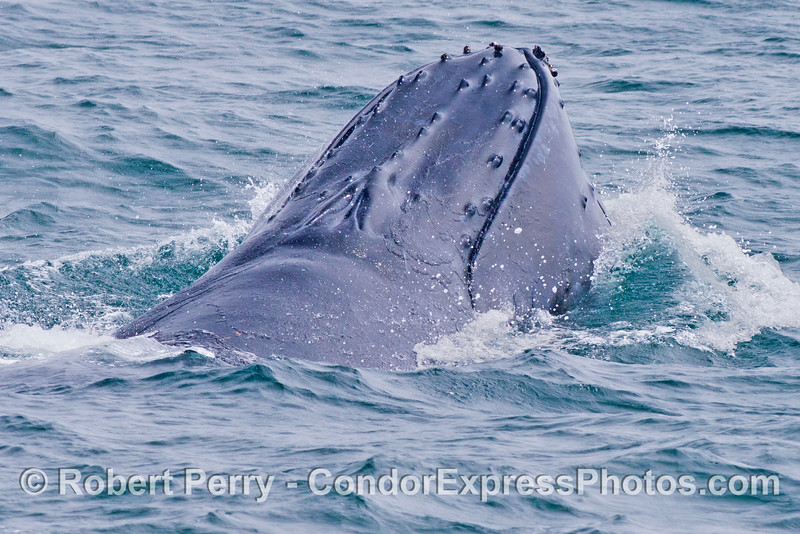 The knobby top of the rostrum and closed blow holes can be seen in this image of a humpback whale (<em>Megaptera novaeangliae</em>) that is falling forward with a mouth full of anchovies and sea water.