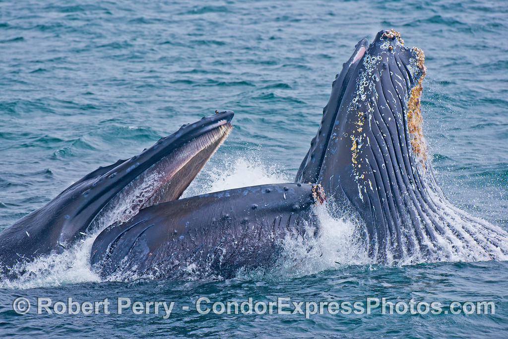 Another image sequence, 2 of 3: Two humpback whales (<em>Megaptera novaeangliae</em>) are photographed during a vertical lunge as they feed on thousands of northern anchovies (<em>Engraulis mordax</em>).  The baleen in the roof of the mouth can be seen on the left whale, as well as anchovies escaping their fate.  The expanded ventral groove blubber on the right whale is also shown.