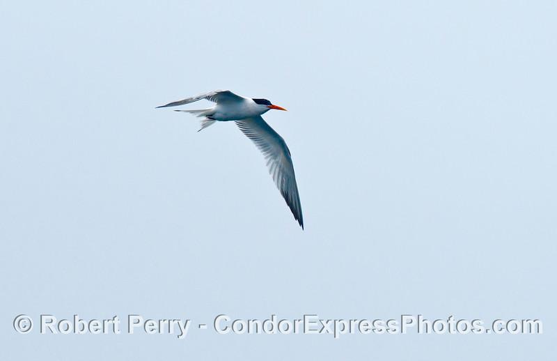 A beautiful elegant tern (<em>Sterna elegans</em>) shown in flight.
