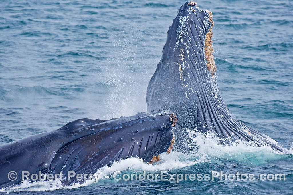 Another image sequence, 3 of 3: Two humpback whales (<em>Megaptera novaeangliae</em>) are photographed during a vertical lunge as they feed on thousands of northern anchovies (<em>Engraulis mordax</em>).   Bothe whales are ejecting the water from their gular pouch.