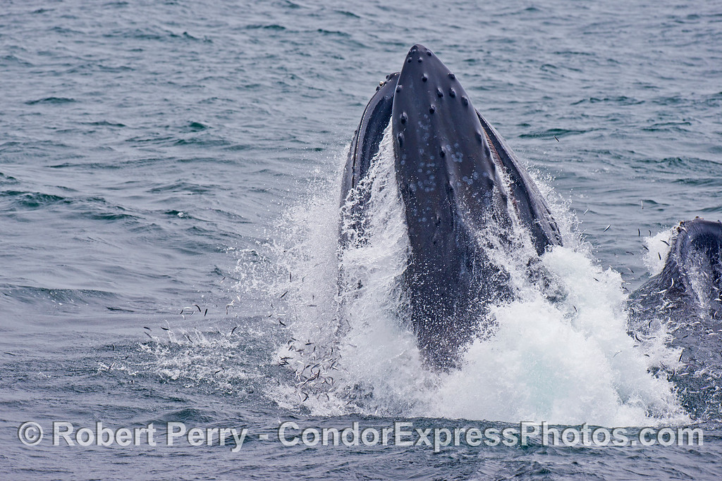 Image sequence 1 of 4: Two humpback whales (<em>Megaptera novaeangliae</em>) are photographed during a vertical lunge as they feed on thousands of northern anchovies (<em>Engraulis mordax</em>).  Many anchovies can be seen escaping the mouths of these whales.