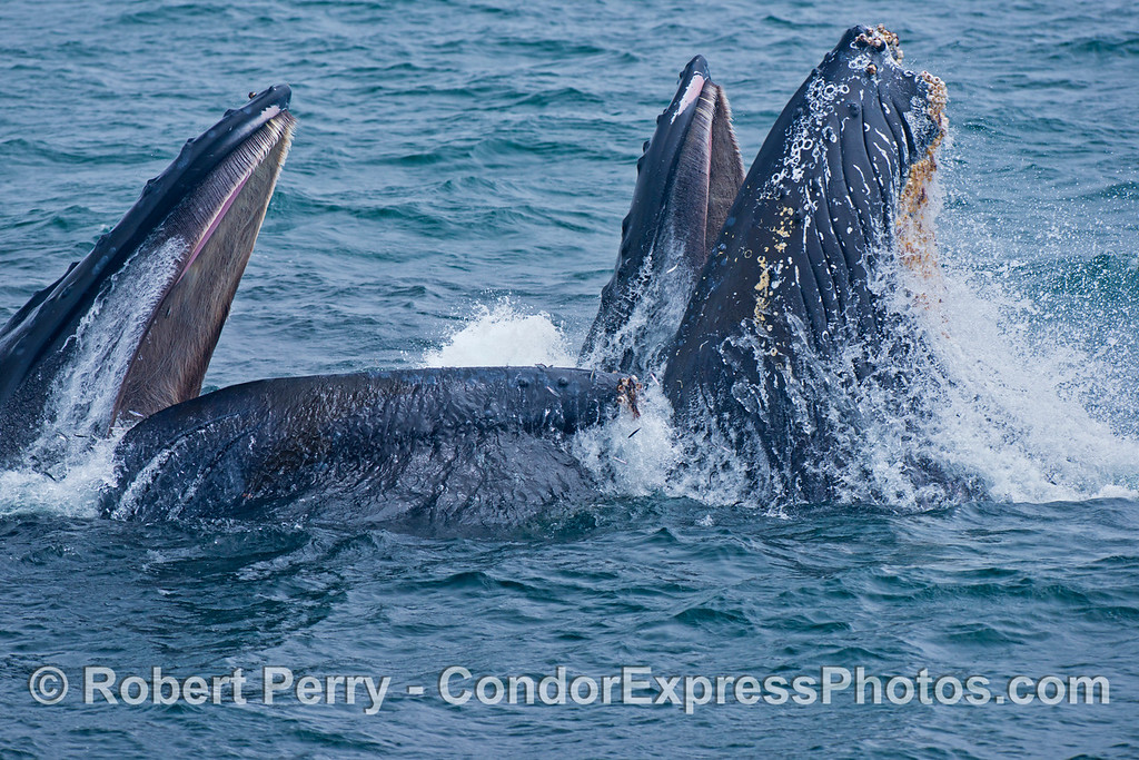 Another image sequence, 1 of 3: Two humpback whales (<em>Megaptera novaeangliae</em>) are photographed during a vertical lunge as they feed on thousands of northern anchovies (<em>Engraulis mordax</em>).  The baleen in the roof of the mouth can be seen.