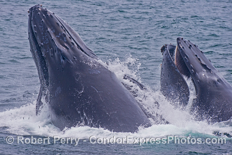 Image sequence 4 of 4: Two humpback whales (<em>Megaptera novaeangliae</em>) are photographed during a vertical lunge as they feed on thousands of northern anchovies (<em>Engraulis mordax</em>).