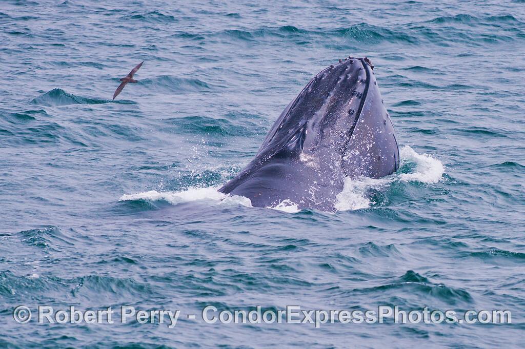 A humpback whale (<em>Megaptera novaeangliae</em>) and a sooty shearwater (<em>Puffinus griseus</em>).