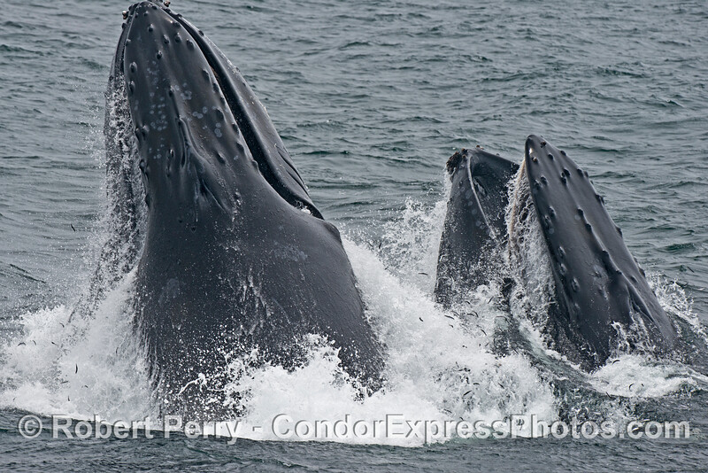 Image sequence 3 of 4: Two humpback whales (<em>Megaptera novaeangliae</em>) are photographed during a vertical lunge as they feed on thousands of northern anchovies (<em>Engraulis mordax</em>).  Many anchovies can be seen escaping the mouths of these whales.