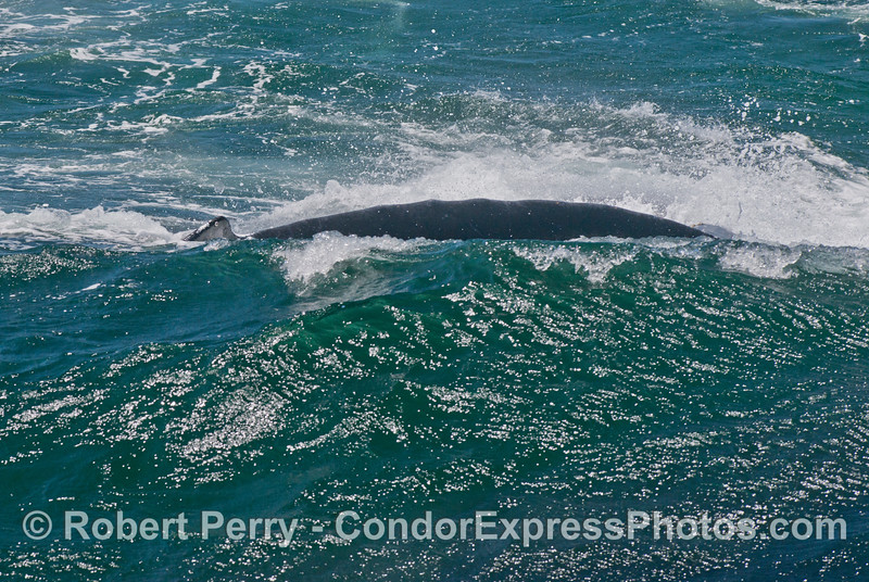 Rough seas and the dorsal surface of a humpback whale (<em>Megaptera novaeangliae</em>) disappears behind a cresting breaker.