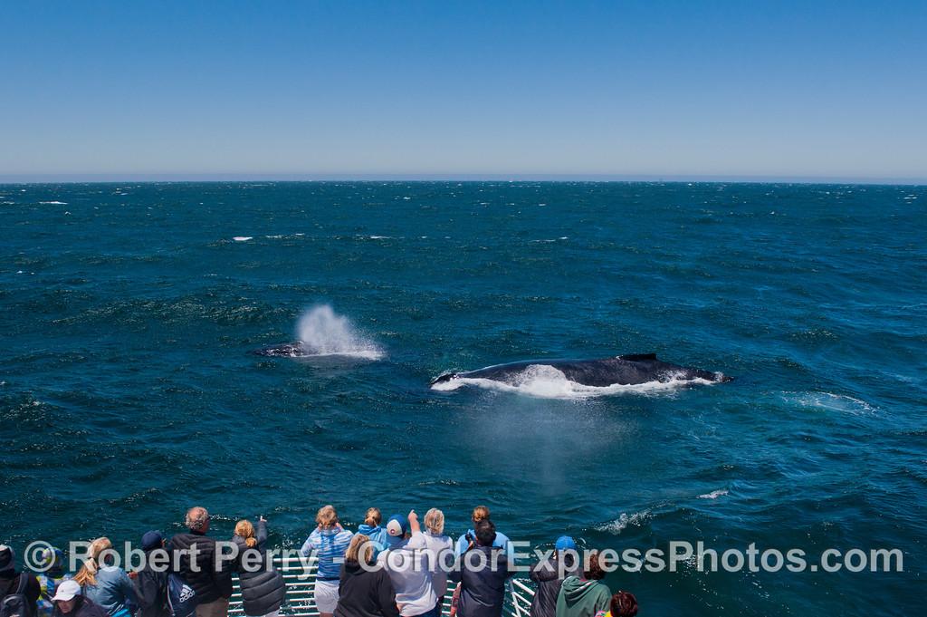 A group of humpback whale (<em>Megaptera novaeangliae</em>) pay a close visit to the Condor Express.