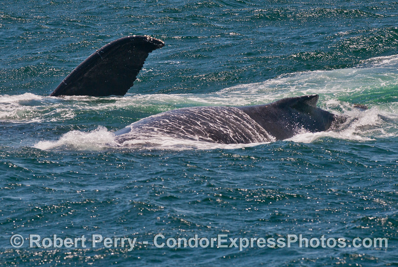 Two humpback whales (<em>Megaptera novaeangliae</em>), one is on its side.