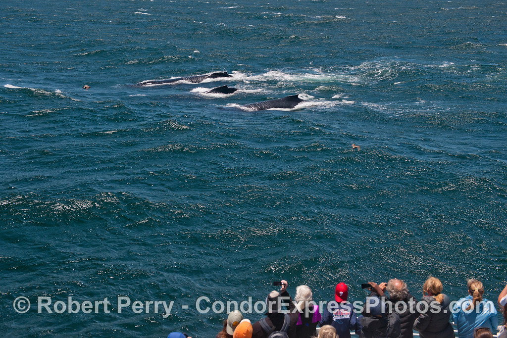 Humpback whales (<em>Megaptera novaeangliae</em>) take a look at the Condor Express.