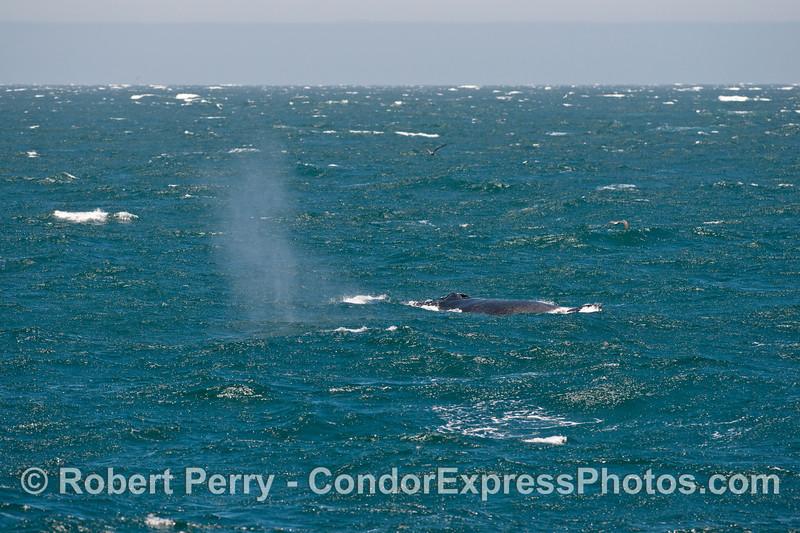 Megaptera novaeangliae in rough seas 2013 07-15 Far West SB Channel-b-009