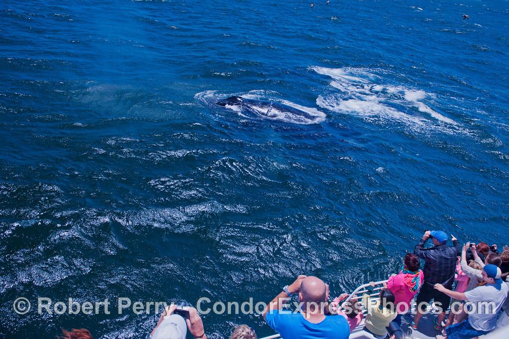 Several humpback whales (<em>Megaptera novaeangliae</em>) come close to the boat.