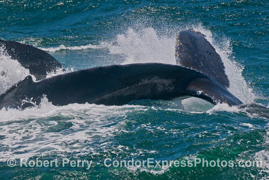 A humpback whale (<em>Megaptera novaeangliae</em>) throws its tail.