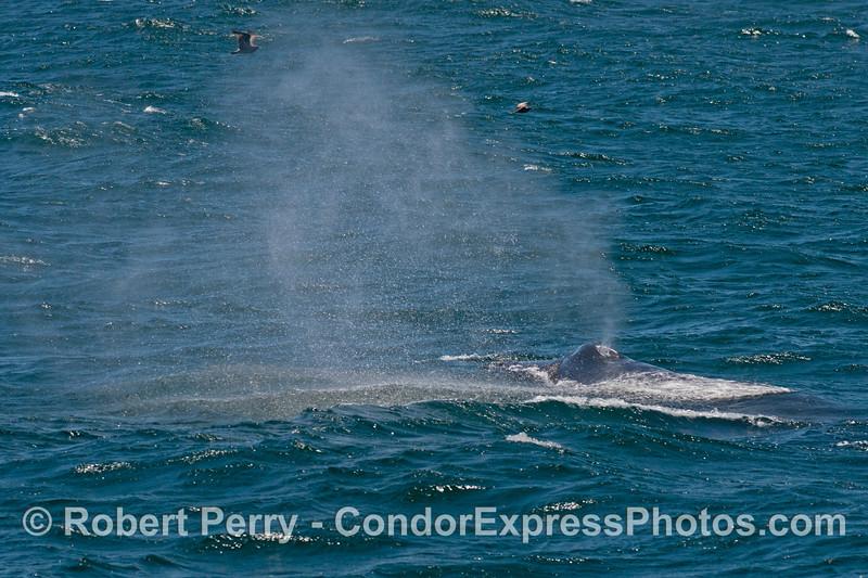 A moderate breeze sends the spout spray of a humpback whale (<em>Megaptera novaeangliae</em>) flying.