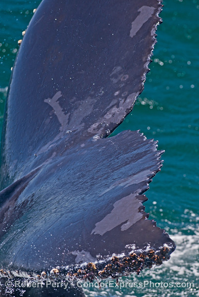 1 of 3:  extreme close look at the tail flukes of a humpback whale (<em>Megaptera novaeangliae</em>).