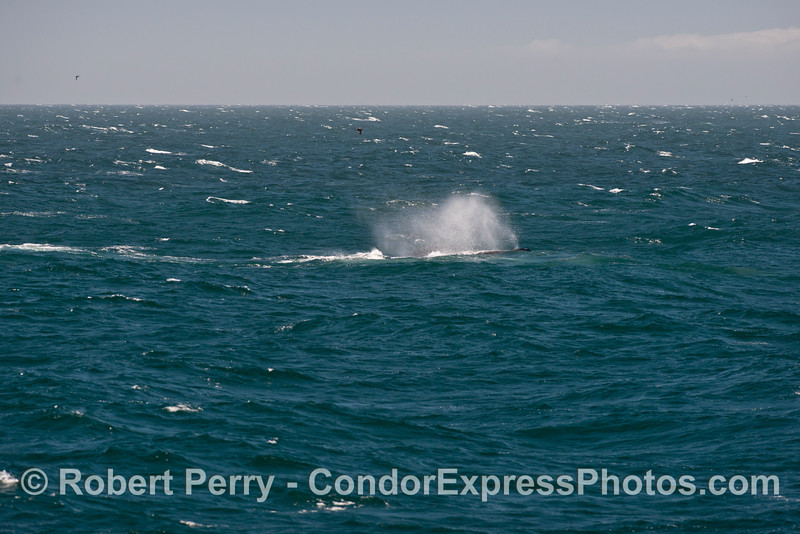 A humpback whale (<em>Megaptera novaeangliae</em>) seen smoking in the moderate winds.