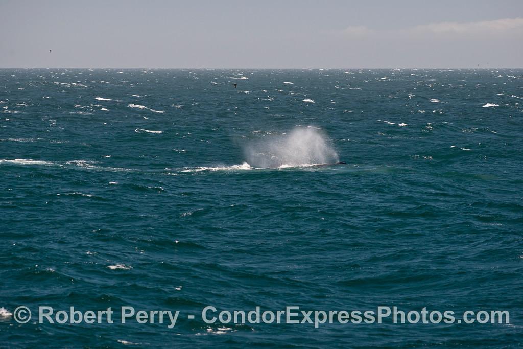 A humpback whale (<em>Megaptera novaeangliae</em>) seen smoking in the moderate winds.