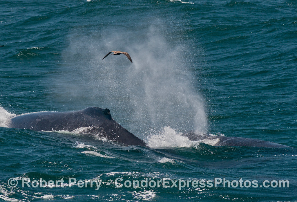 Two humpback whales (<em>Megaptera novaeangliae</em>) and a spout in the breeze.