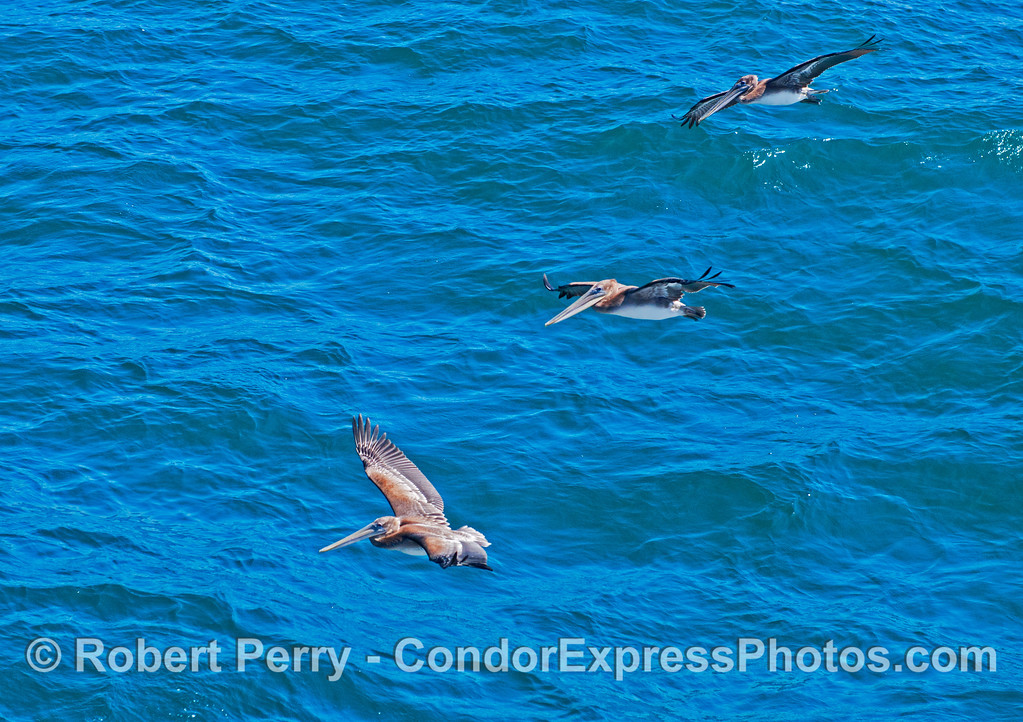 Three brown pelicans (<em>Pelecanus occidentalis</em>) soar across the waves.