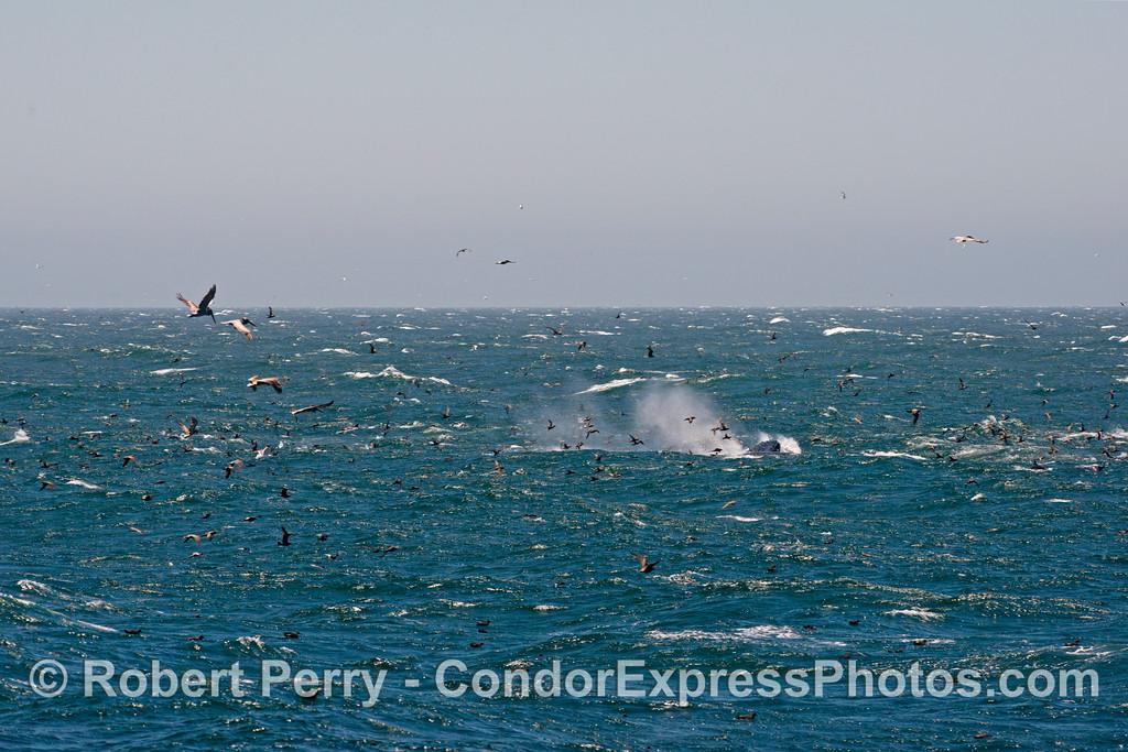 Megaptera novaeangliae rough seas & birds 2013 07-15 Far West SB Channel-d-001