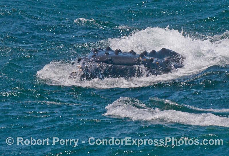 The tip of the snout or rostrum of a humpback whale (<em>Megaptera novaeangliae</em>).
