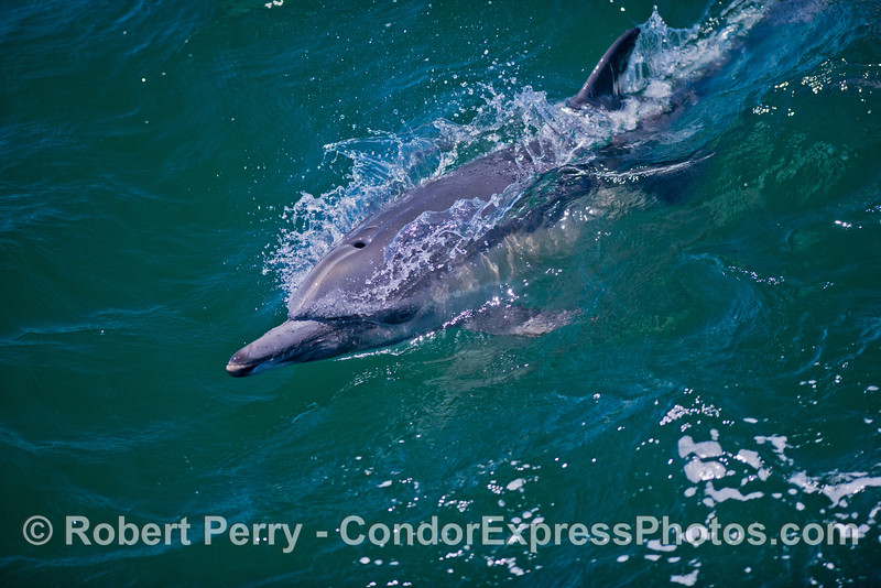 Another surfing common dolphin (<em>Delphinus capensis</em>).