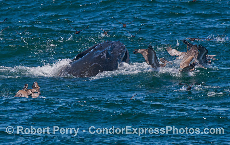A lunge feeding humpback whale (<em>Megaptera novaeangliae</em>) nearly collides with some brown pelicans.