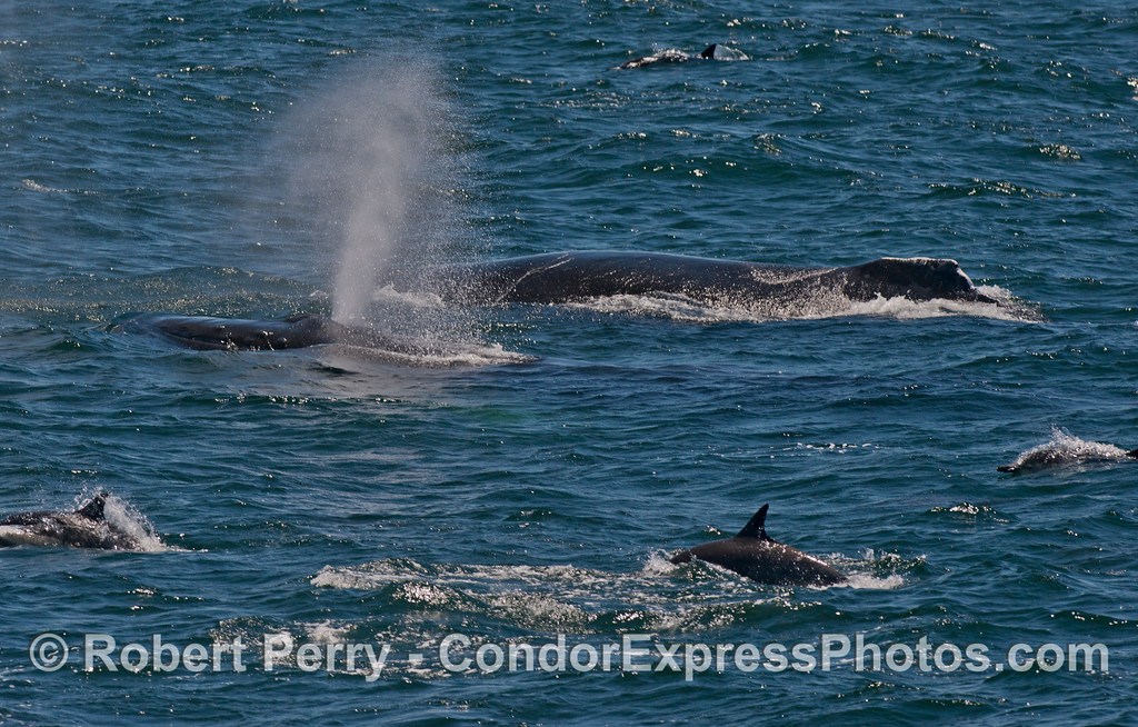 Two humpback whales (<em>Megaptera novaeangliae</em>) are flanked by common dolphins (<em>Delphinus capensis</em>).