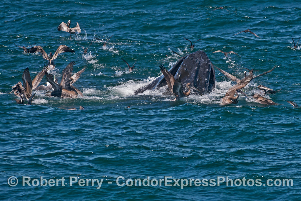 Brown pelicans and other sea birds scatter as a humpback whale (<em>Megaptera novaeangliae</em>) breaks the ocean surface during a vertical lunge on a school of northern anchovies.