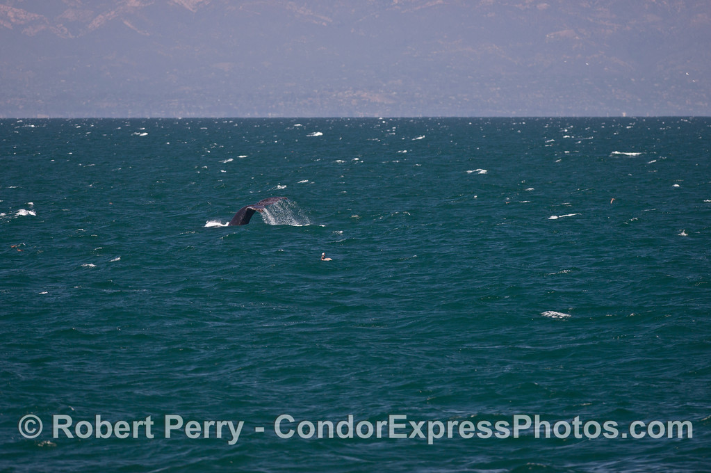 In the distance, the Santa Barbara coast is seen behind the tail flukes of a humpback whale (<em>Megaptera novaengliae</em>) on a choppy ocean.