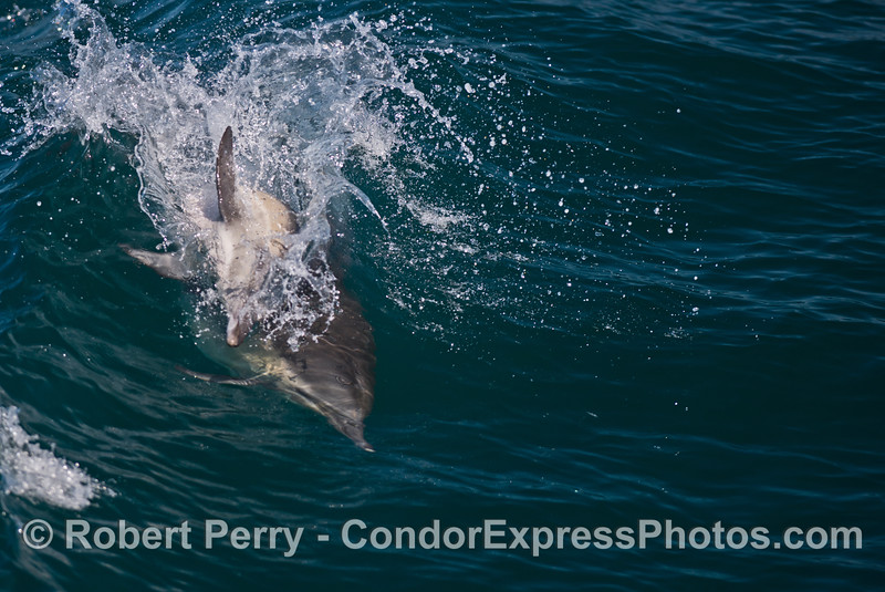 A common dolphin (<em>Delphinus capensis</em>) jumps sideways over another dolphin as they ride an open ocean wave.