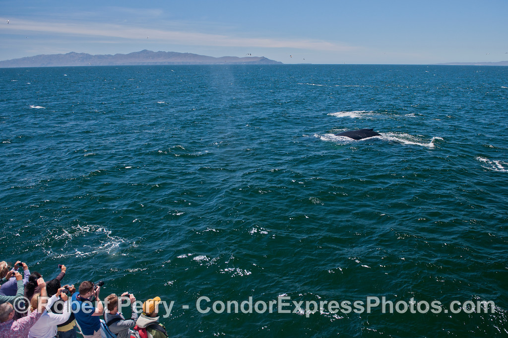 Humpback whales (<em>Megaptera novaeangliae</em>) come close to the Condor Express.   Santa Cruz Island (left) and the east end of Santa Rosa Island are seen in the background.