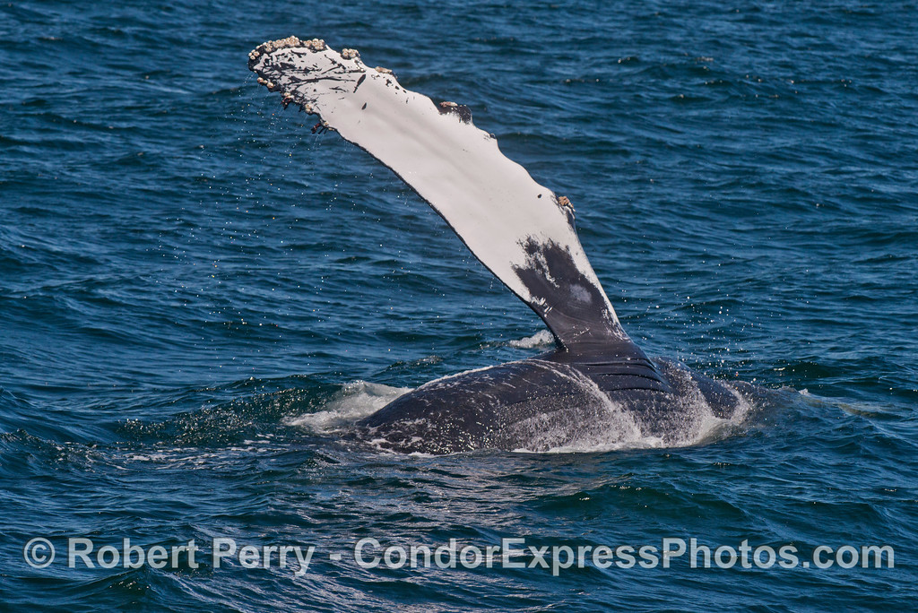 "A humpback whale (Megaptera novaeangliae) slaps its long ""wing"" (pectoral flipper) down on the ocean surface.  Secret whale watching code:  ""pect slap."""