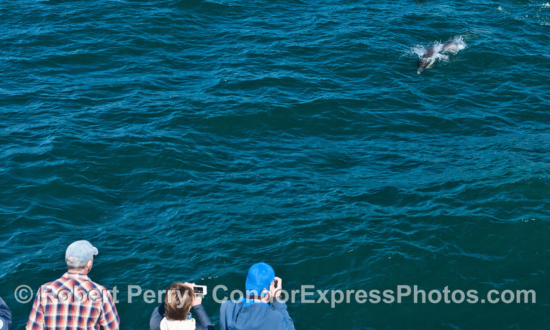 Two common dolphins (<em>Delphinus capensis</em>), a mother and calf come over to take a look at the Condor Express.