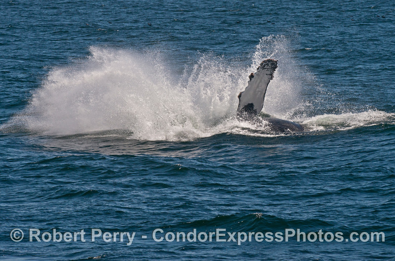 6 of 7 shots in a sequence showing a humpback whale (<em>Megaptera novaeangliae</em>) breaching about half way out of the water.