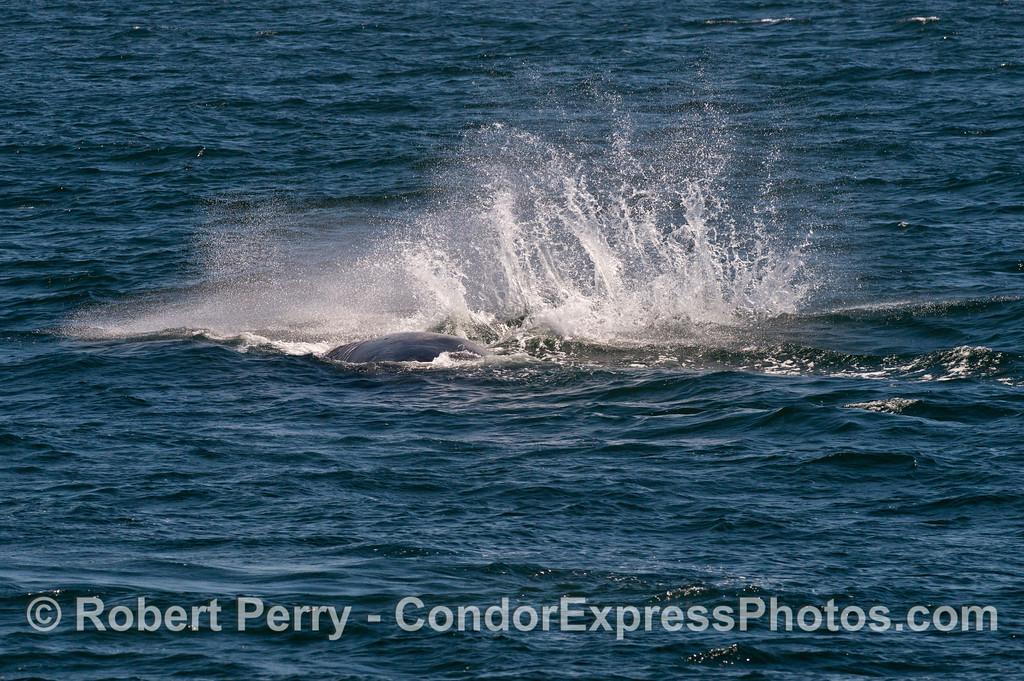 "A humpback whale (<em>Megaptera novaeangliae</em>) slaps its long ""wing"" (pectoral flipper) down on the ocean surface.  Secret whale watching code:  ""pect slap."""
