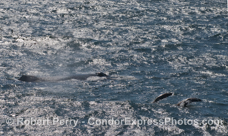 Silhoutted by the afternoon sunlight reflected off the turbulent ocean surface, a humpback whale (<em>Megaptera novaeangliae</em>) and two leaping California sea lions (<em>Zalophus californianus</em>) are seen.