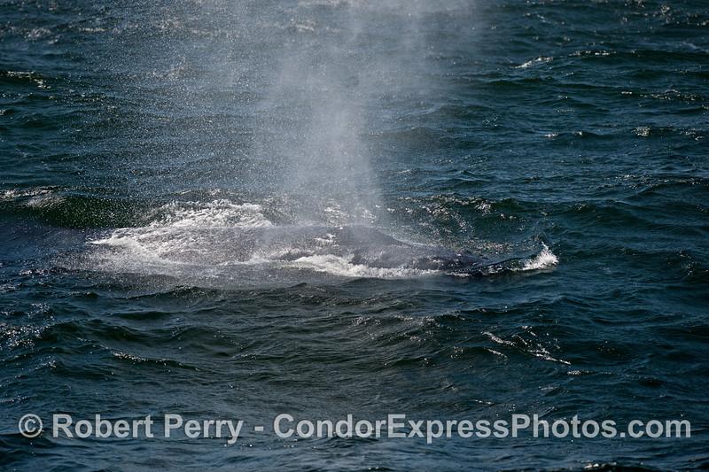 Rough seas and a spouting humpback whale (<em>Megaptera novaeangliae</em>).