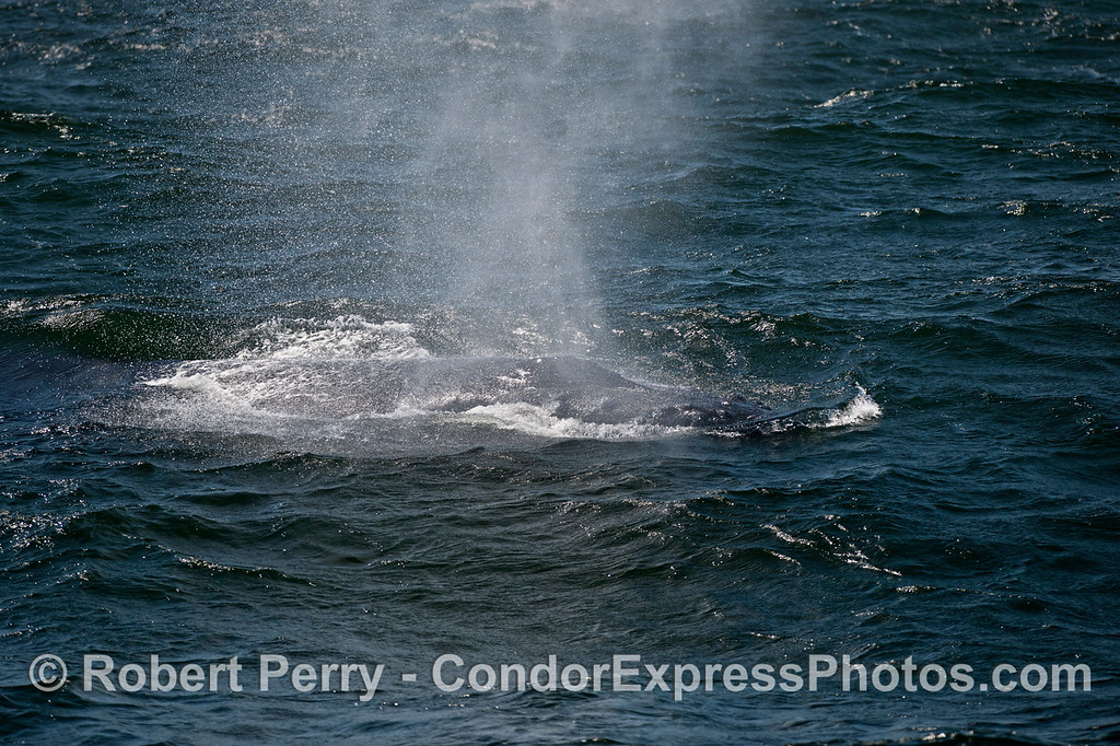 Rough seas and a spouting humpback whale (Megaptera novaeangliae).