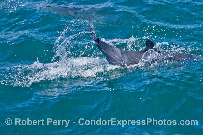 A tail slapping common dolphin (<em>Delphinus capensis</em>).