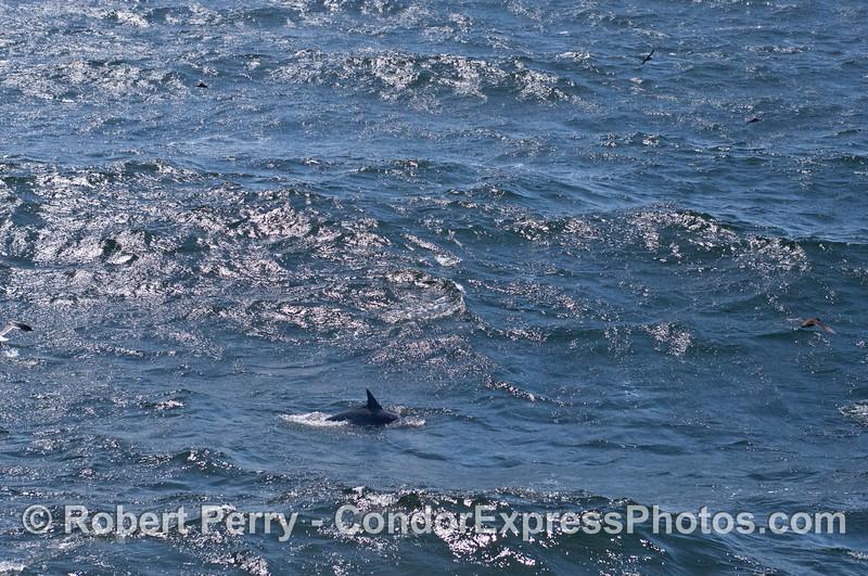 A large ocean open wave and a common dolphin (<em>Delphinus capensis</em>).