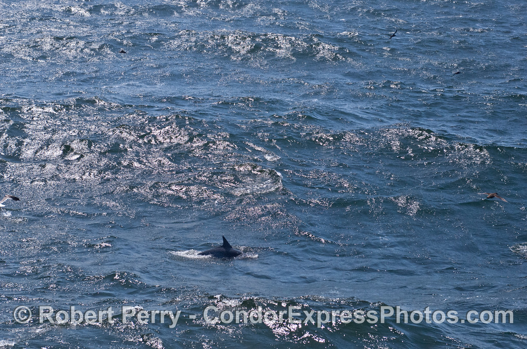 A large ocean open wave and a common dolphin (<em>Delphinus capensis</em>).