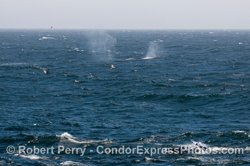 Twin spouts from humpback whales (<em>Megaptera novaeangliae</em>) on a rough ocean surface.  In the bottom right corner a couple of common dolphins (<em>Delphinus capensis</em>) can be seen.