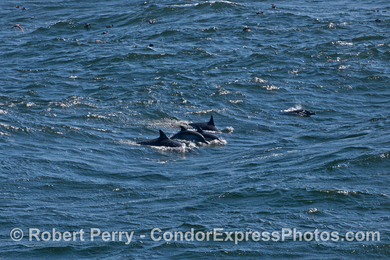 """Several common dolphins (<em>Delphinus capensis</em>) work """"uphill"""" against on coming waves."""