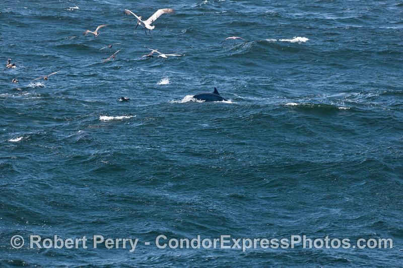 A common dolphin (<em>Delphinus capensis</em>) in rough seas.