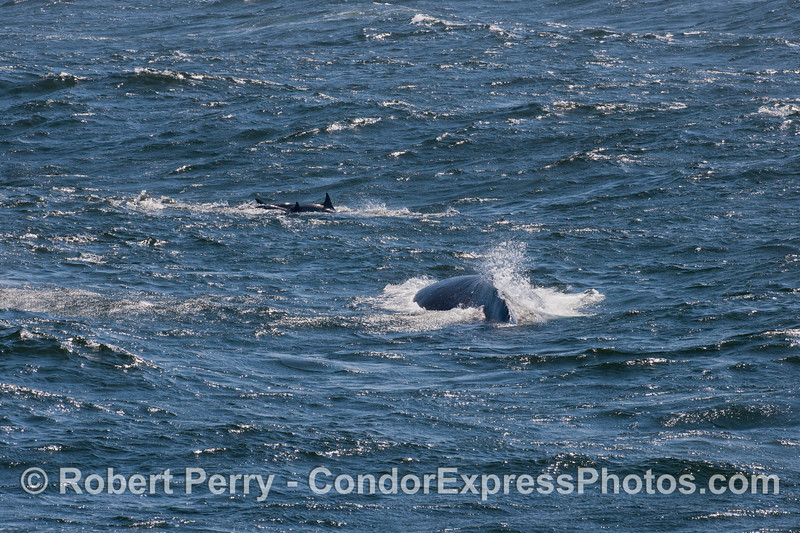 Caught between two large ocean swells a humpback whale (<em>Megaptera novaeangliae</em>) and a couple of common dolphins (<em>Delphinus capensis</em>) are seen.