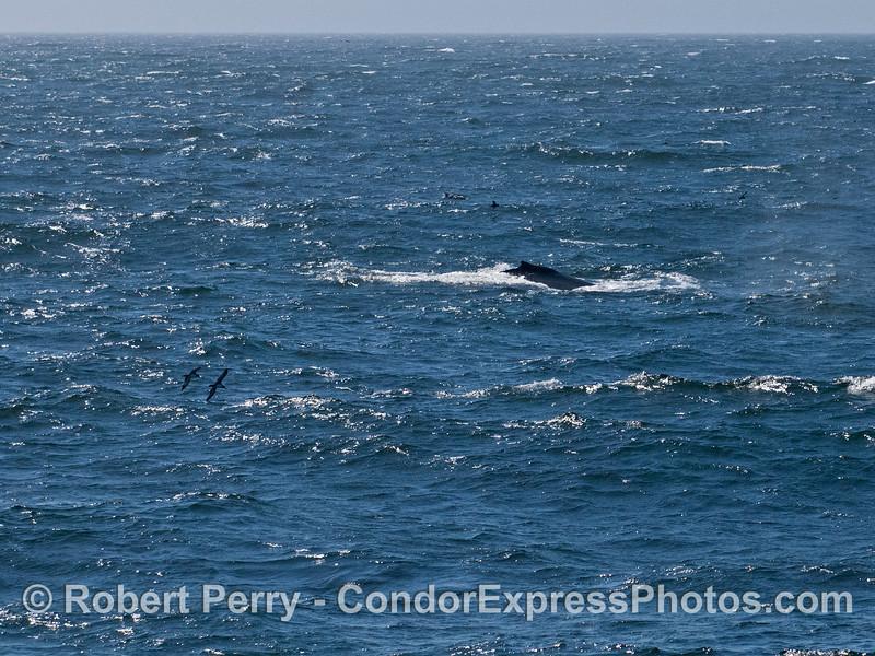 A humpback whale (<em>Megaptera novaeangliae</em>)...also seen are two sooty shearwaters (<em>Puffinus griseus</em>) in flight.