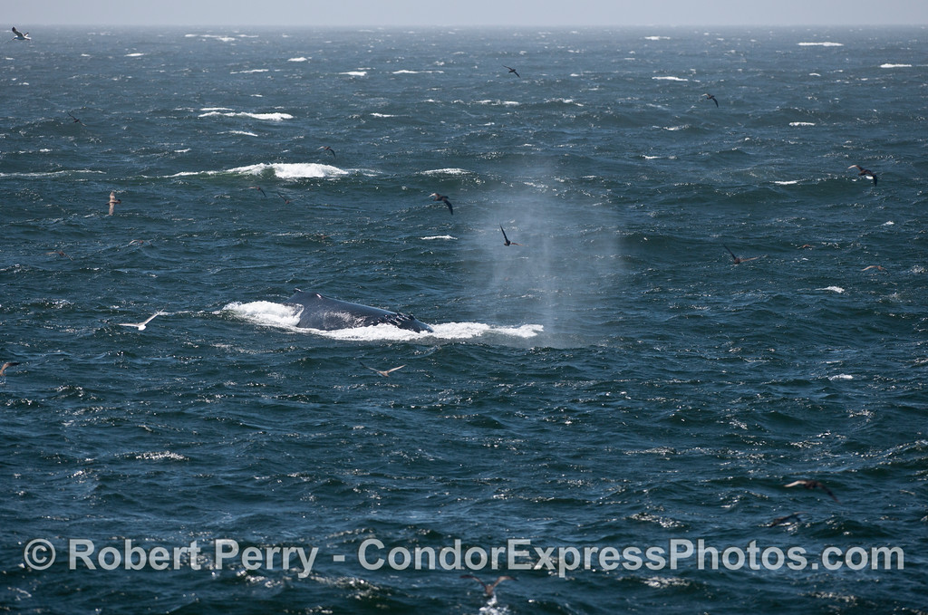 A humpback whale (Megaptera novaeangliae) is seen in rough seas.  The whale has a propeller scar across its back and is surrounded by various sea birds (shearwaters, gulls).